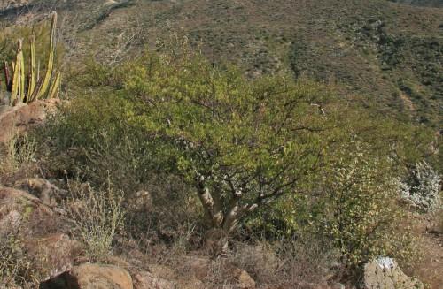 Baja California Elephant Tree