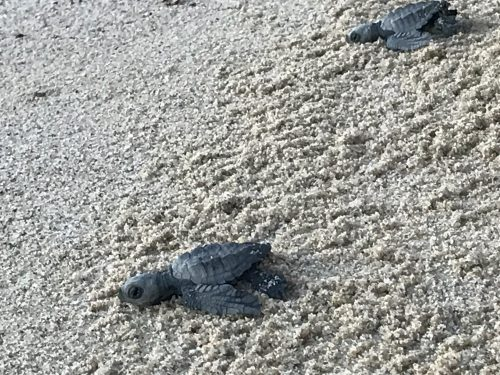 ridley sea turtle hatchling release