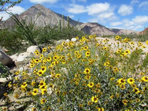 baja wildflowers IMG_5199a