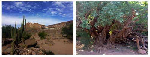San Javier Mission and Olive Tree