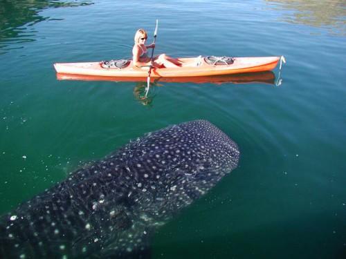 whale-shark-copy-2