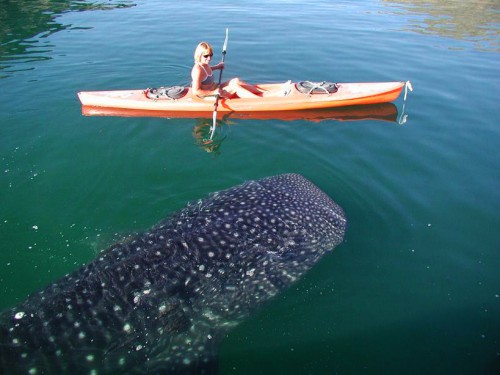 whale_shark_baja
