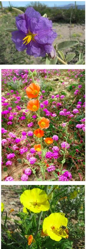 baja wildflowers