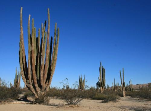 cardon cactus baja