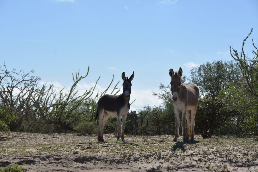 Mules on the East Road to San Juanico