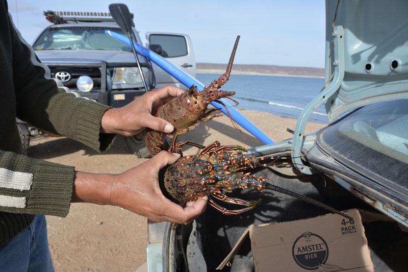 Live lobster in San Juanico