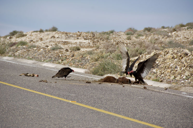 Road kill and vultures