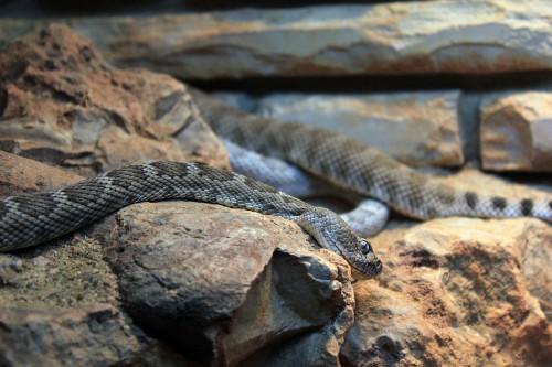 santa-catalina-island-rattlesnake