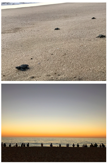 sea turtle hatchling release 2